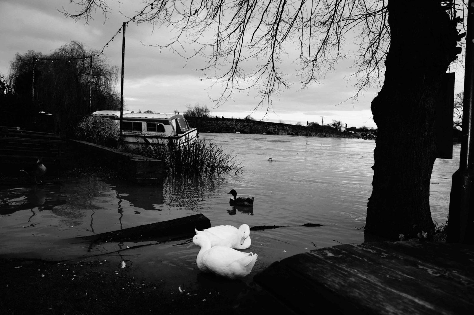 Natural ducks